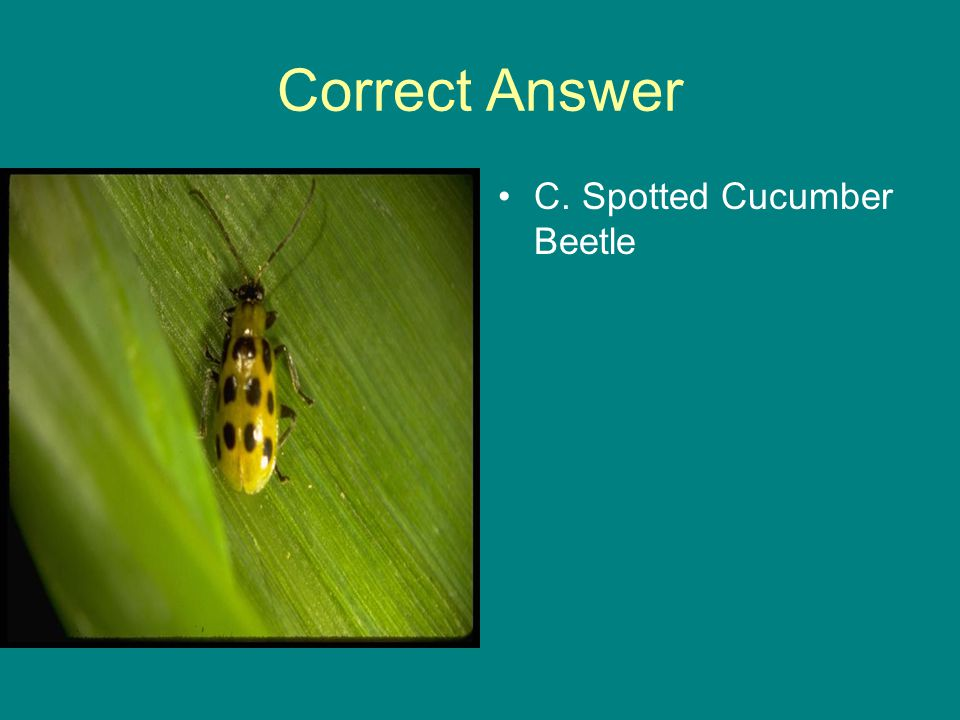 Correct Answer C. Spotted Cucumber Beetle