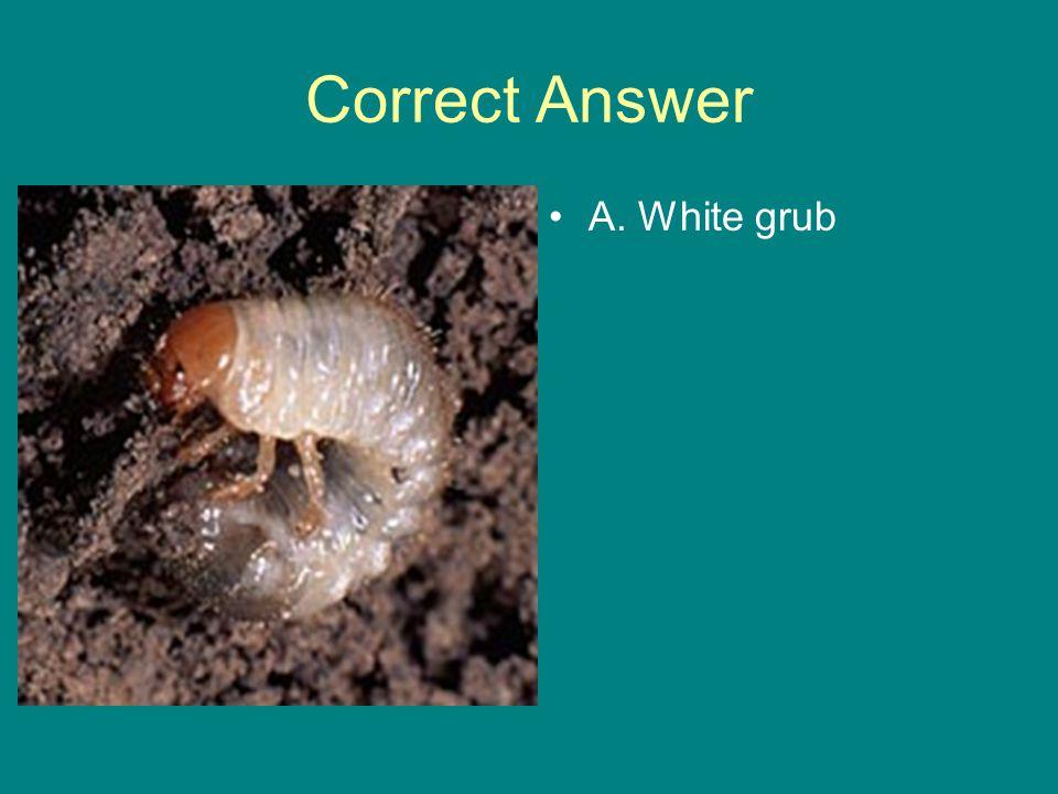 Correct Answer A. White grub