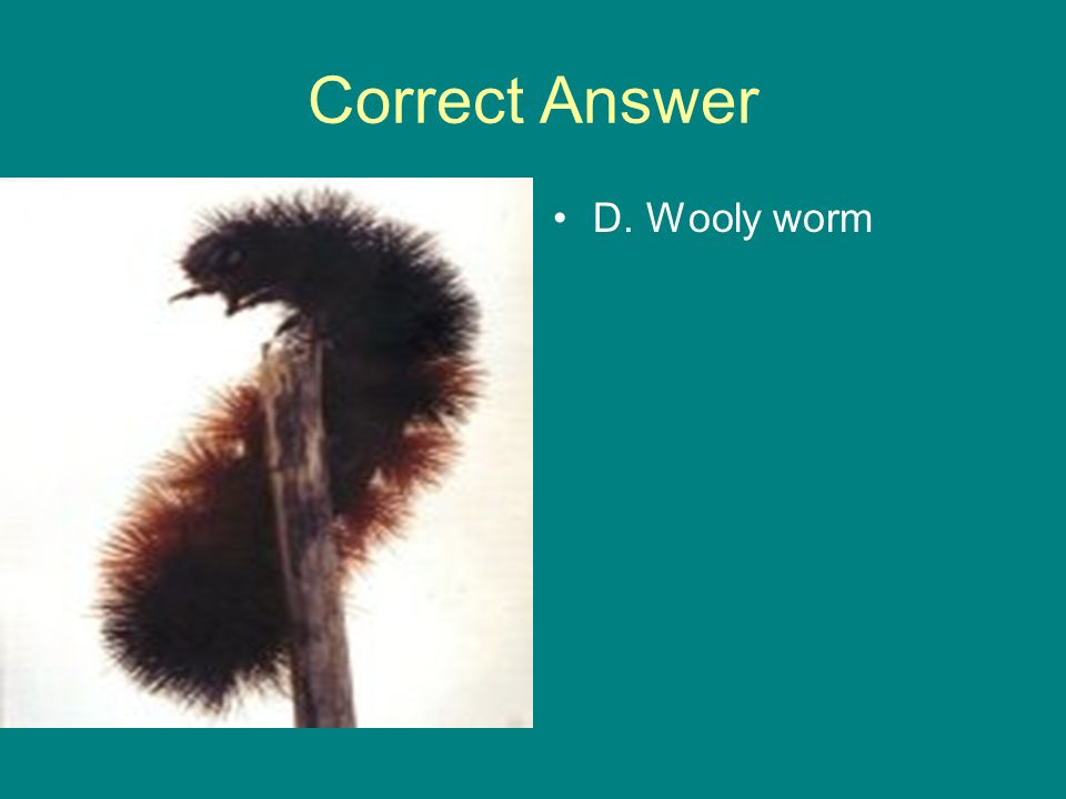 Correct Answer D. Wooly worm