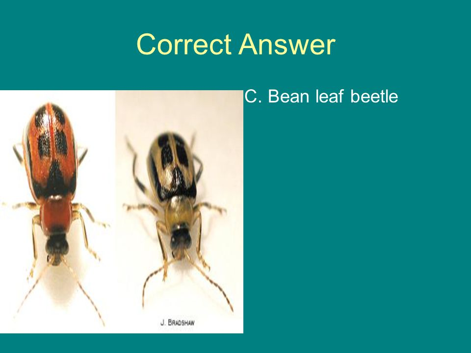 Correct Answer C. Bean leaf beetle
