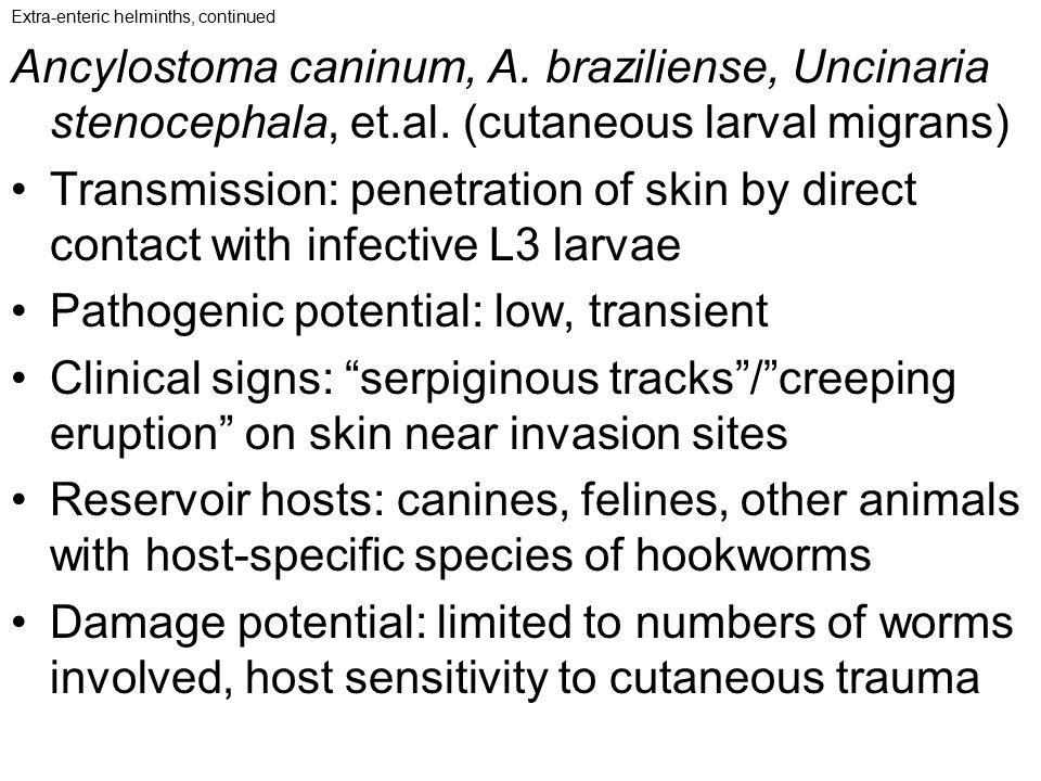 Extra-enteric helminths, continued Ancylostoma caninum, A. braziliense, Uncinaria stenocephala, et.al. (cutaneous larval migrans) Transmission: penetr