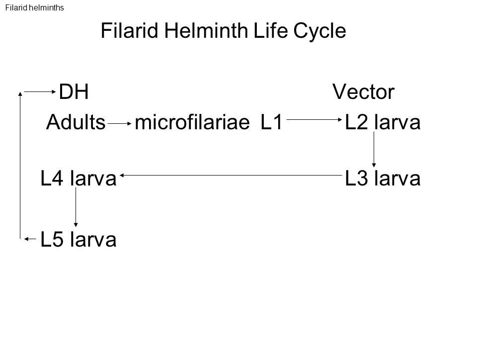 Filarid helminths Filarid Helminth Life Cycle DH Vector Adults microfilariae L1 L2 larva L4 larva L3 larva L5 larva