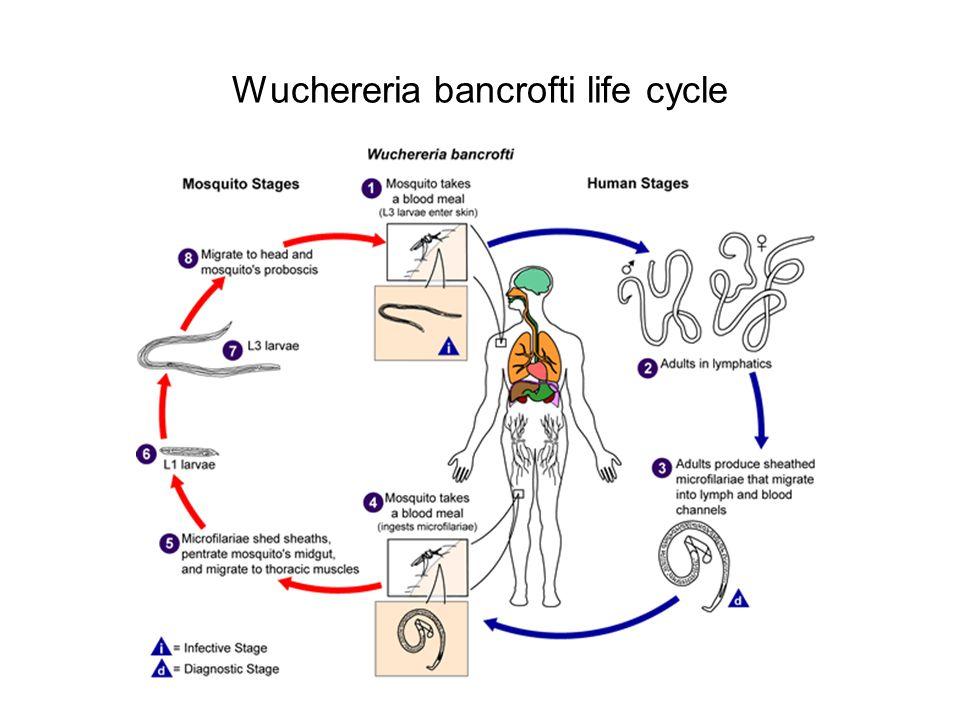 Wuchereria bancrofti life cycle