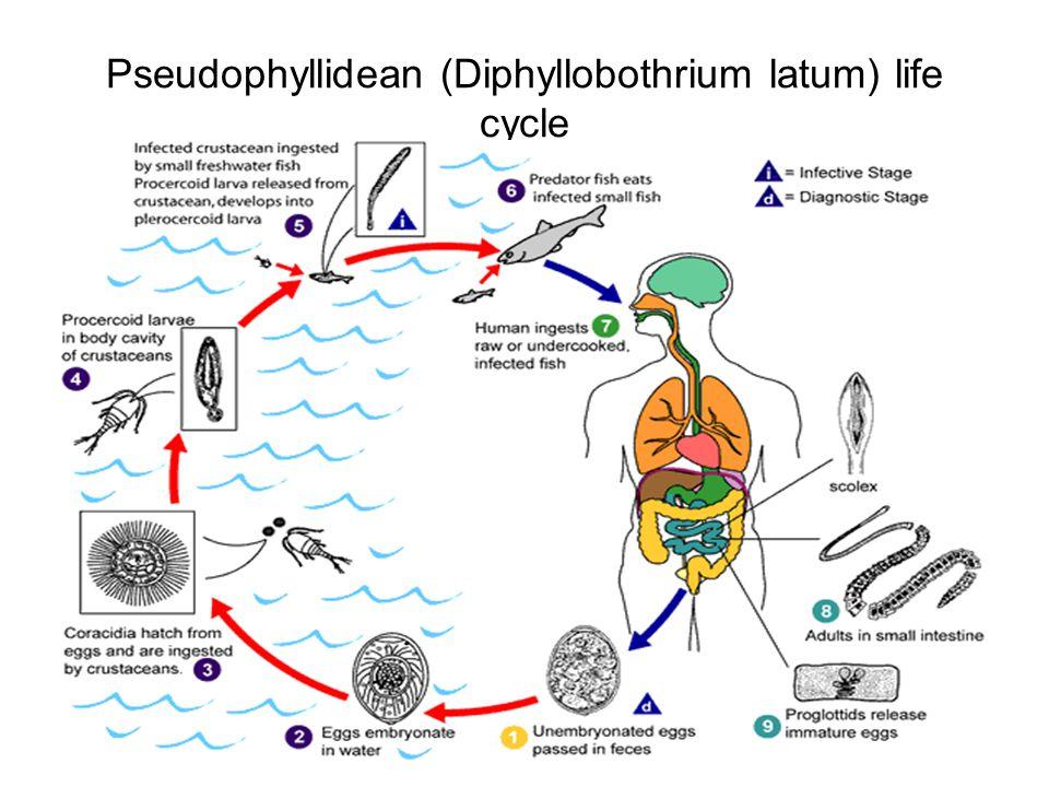 Pseudophyllidean (Diphyllobothrium latum) life cycle