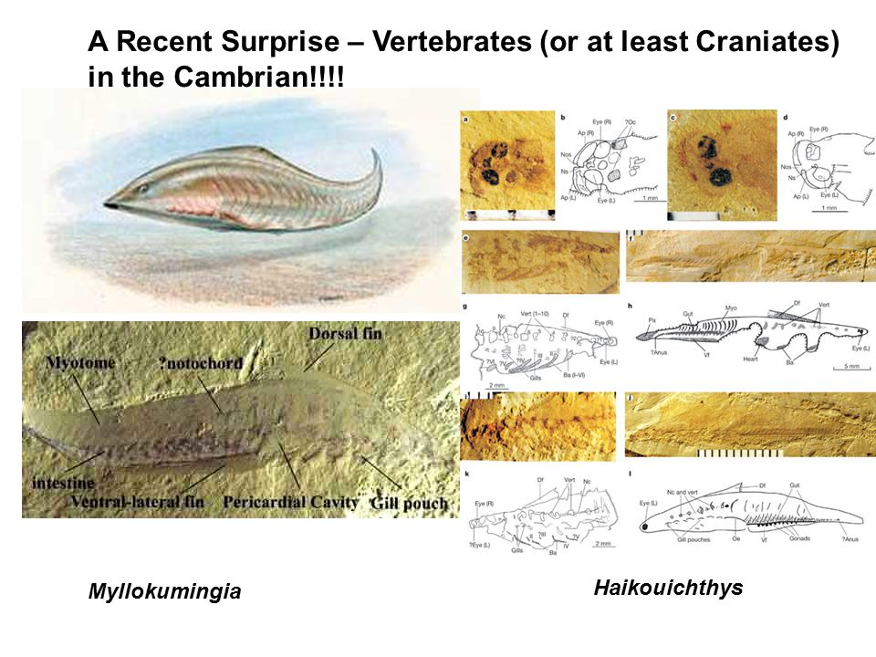 Myllokumingia Haikouichthys A Recent Surprise – Vertebrates (or at least Craniates) in the Cambrian!!!!