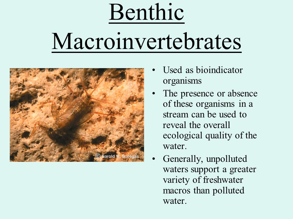 Benthic Macroinvertebrates Used as bioindicator organisms The presence or absence of these organisms in a stream can be used to reveal the overall eco