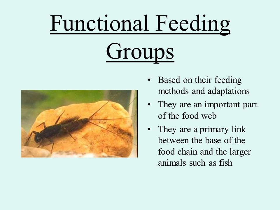 Functional Feeding Groups Based on their feeding methods and adaptations They are an important part of the food web They are a primary link between th