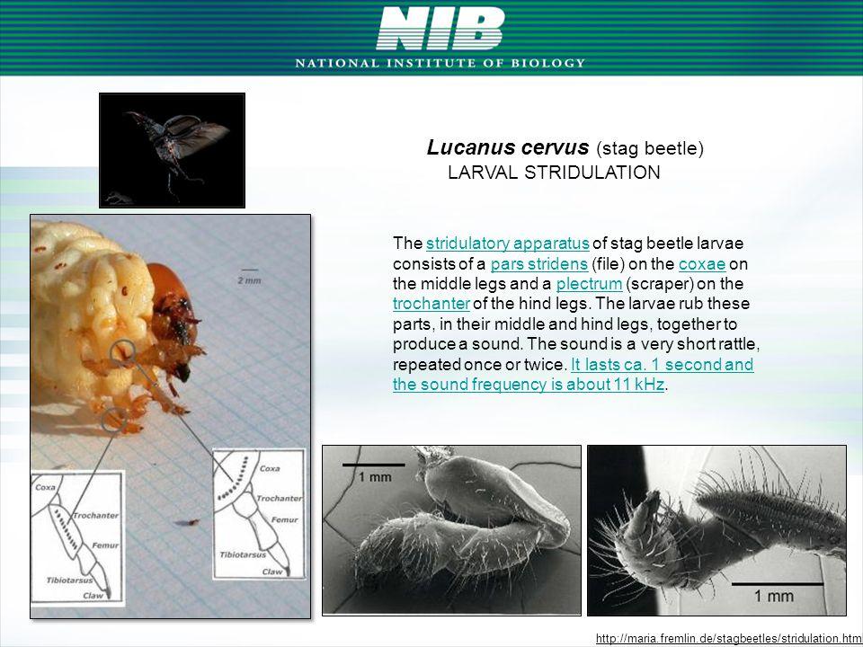 slide courtesy of: Dr. Victoria Soroker, Dr. Amots Hetzroni, ARO, Israel N=28Larva foundNo larvae Observer + *21 (9)1 (3) Observer - **4 (1)2 (5) * ob