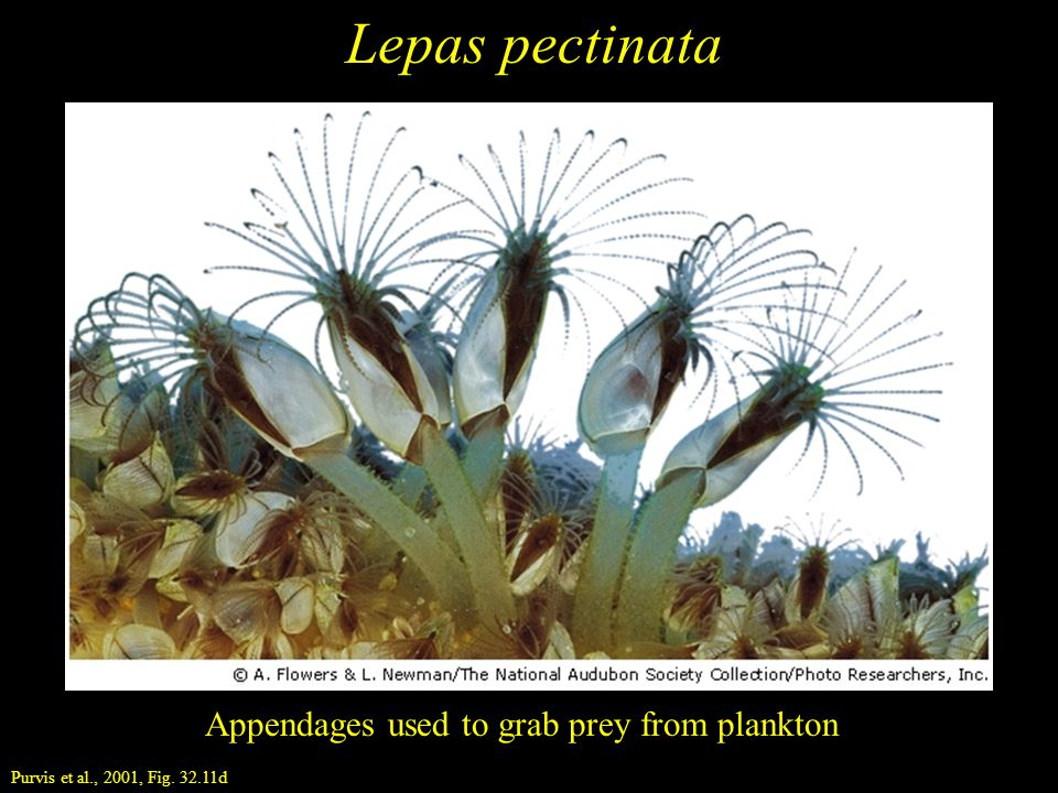 Lepas pectinata Appendages used to grab prey from plankton Purvis et al., 2001, Fig. 32.11d
