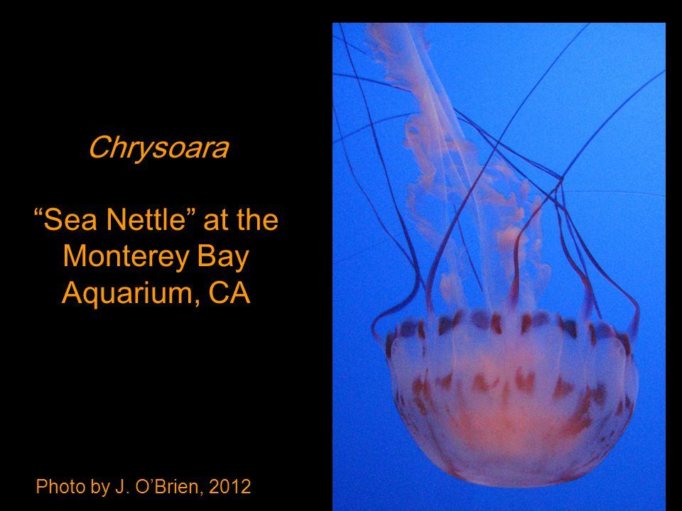 Photo by J. O'Brien, 2012 Chrysoara Sea Nettle at the Monterey Bay Aquarium, CA