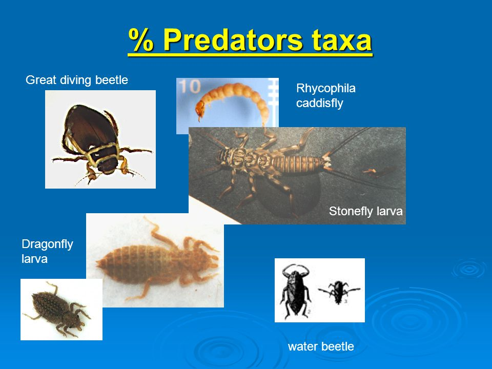 % Predators taxa water beetle Dragonfly larva Great diving beetle Stonefly larva Rhycophila caddisfly