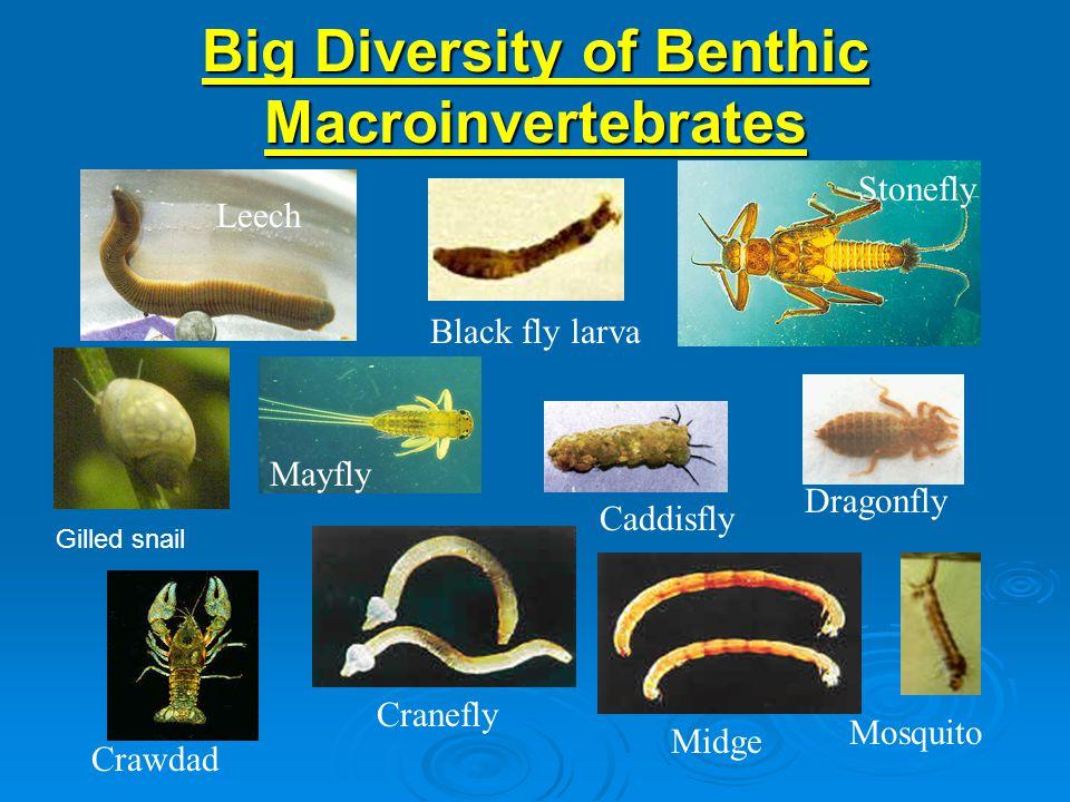 Big Diversity of Benthic Macroinvertebrates Leech Black fly larva Midge Dragonfly Crawdad Cranefly Mosquito Caddisfly Mayfly Stonefly Gilled snail