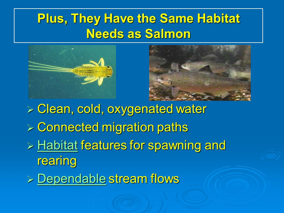 Plus, They Have the Same Habitat Needs as Salmon  Clean, cold, oxygenated water  Connected migration paths  Habitat features for spawning and reari