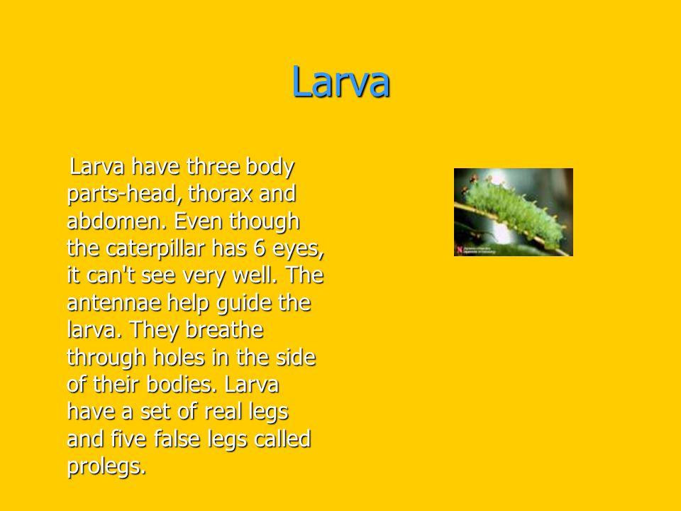 Larva Larva have three body parts-head, thorax and abdomen.