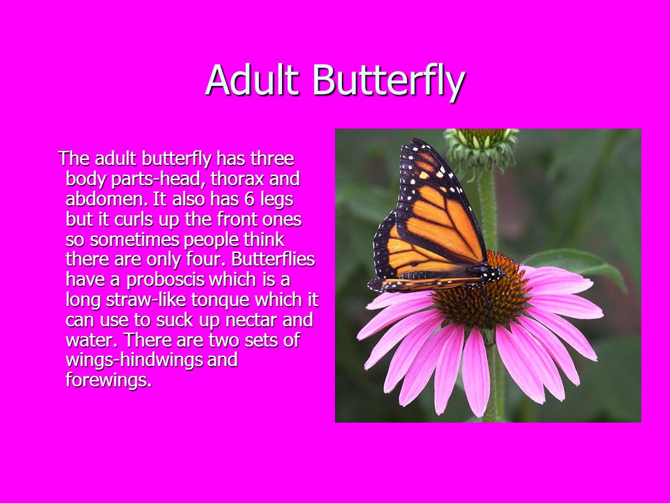 Fun Facts About Butterflies Butterflies are flying insects Butterflies are flying insects The Monarch is sometimes called the Milkweed Butterfly .