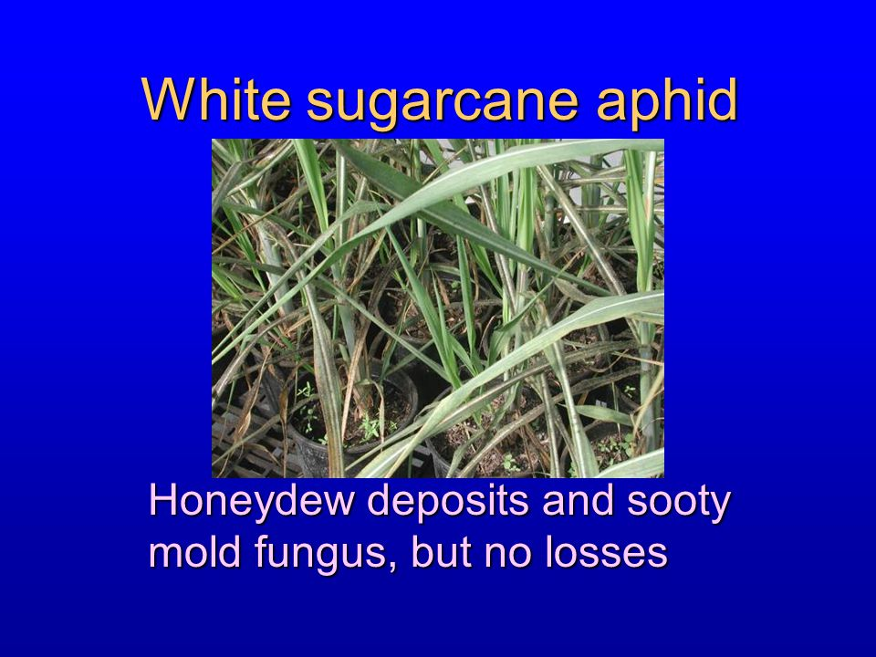 Honeydew deposits and sooty mold fungus, but no losses