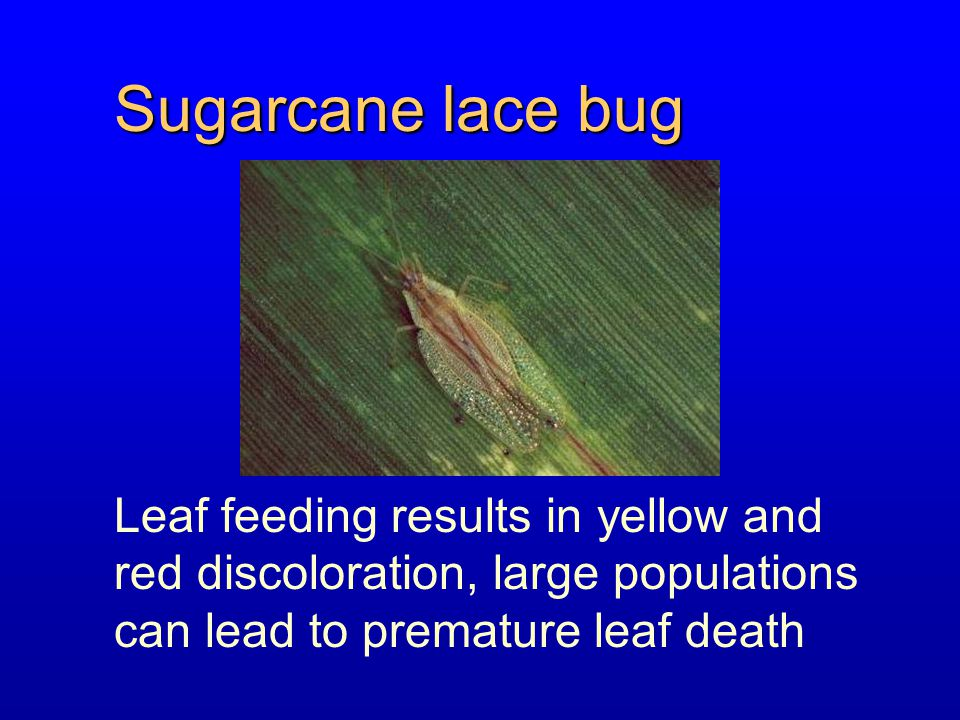 Sugarcane lace bug Leaf feeding results in yellow and red discoloration, large populations can lead to premature leaf death