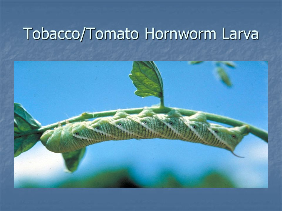 Tobacco/Tomato Hornworm Larva