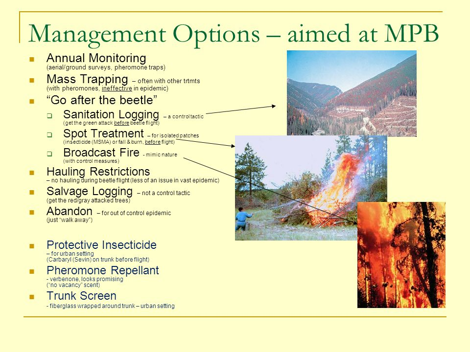 Management Options – aimed at MPB Annual Monitoring (aerial/ground surveys, pheromone traps) Mass Trapping – often with other trtmts (with pheromones, ineffective in epidemic) Go after the beetle  Sanitation Logging – a control tactic (get the green attack before beetle flight)  Spot Treatment – for isolated patches (insecticide (MSMA) or fall & burn, before flight)  Broadcast Fire - mimic nature (with control measures) Hauling Restrictions – no hauling during beetle flight (less of an issue in vast epidemic) Salvage Logging – not a control tactic (get the red/gray attacked trees) Abandon – for out of control epidemic (just walk away ) Protective Insecticide – for urban setting (Carbaryl (Sevin) on trunk before flight) Pheromone Repellant - verbenone, looks promising ( no vacancy scent) Trunk Screen - fiberglass wrapped around trunk – urban setting