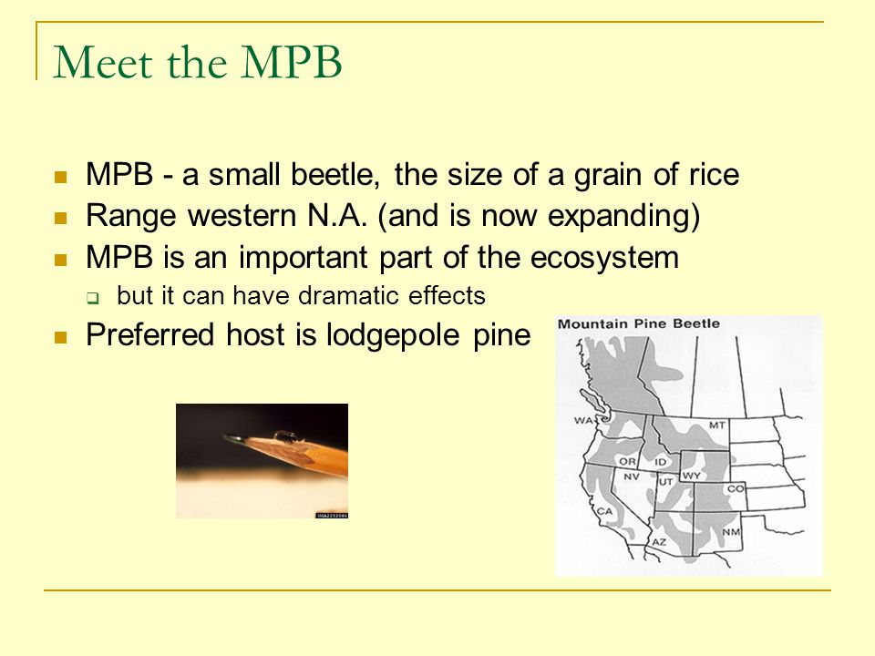 Importance of Lodgepole Pine in BC BC – has a vast amount of lodgepole pine Some figures:  95 million ha (hectares) – size of BC  60 million ha – forested land  25 million ha – operational forests  15 million ha – lodgepole pine forest (~25% of BC's forest)  13.5 million ha – MPB outbreak  0.2 million ha harvested per year When the outbreak is finished …  80% of the mature lodgepole pine in BC will be dead
