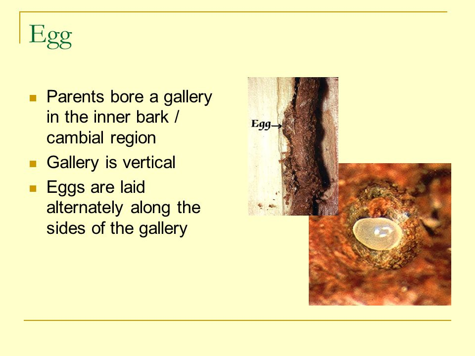 Egg Parents bore a gallery in the inner bark / cambial region Gallery is vertical Eggs are laid alternately along the sides of the gallery