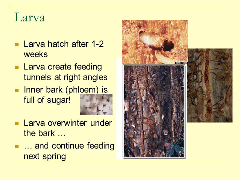 Larva Larva hatch after 1-2 weeks Larva create feeding tunnels at right angles Inner bark (phloem) is full of sugar.