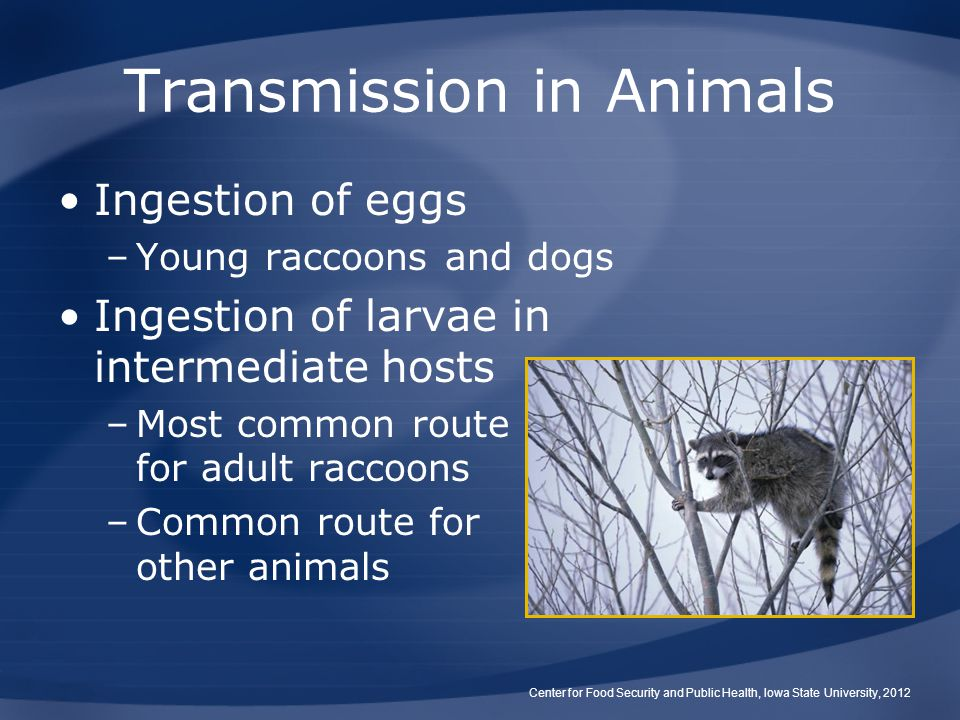 Transmission in Animals Ingestion of eggs –Young raccoons and dogs Ingestion of larvae in intermediate hosts –Most common route for adult raccoons –Common route for other animals Center for Food Security and Public Health, Iowa State University, 2012