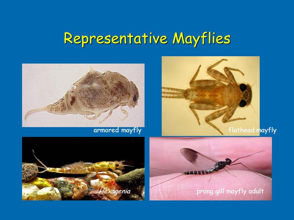 Representative Mayflies flathead mayflyarmored mayfly prong gill mayfly adultHexagenia