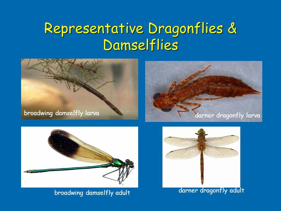 Representative Dragonflies & Damselflies broadwing damselfly adult darner dragonfly adult darner dragonfly larva broadwing damselfly larva