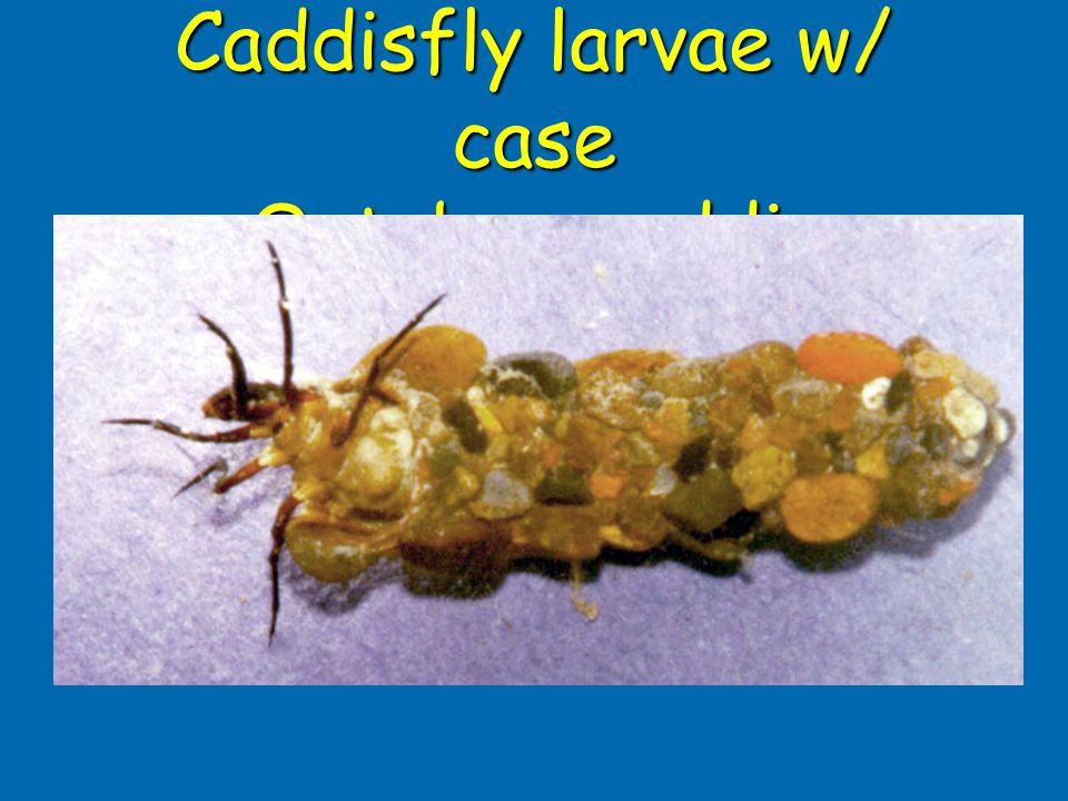 Caddisfly larvae w/ case October caddis