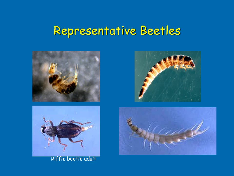 Representative Beetles Riffle beetle adult