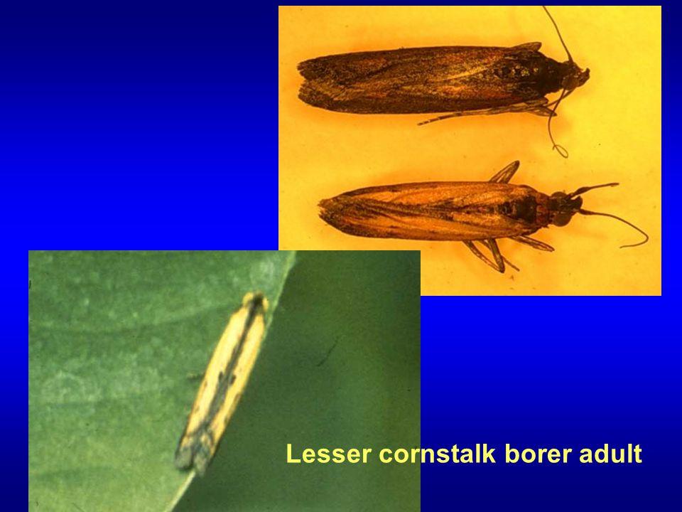 Lesser cornstalk borer adult