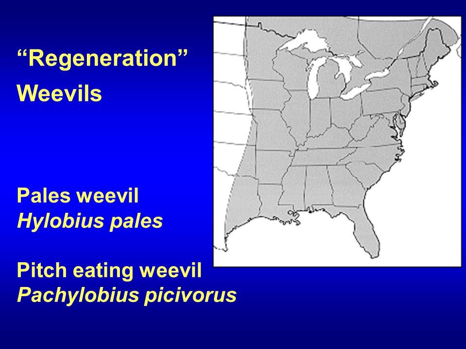 Regeneration Weevils Pales weevil Hylobius pales Pitch eating weevil Pachylobius picivorus