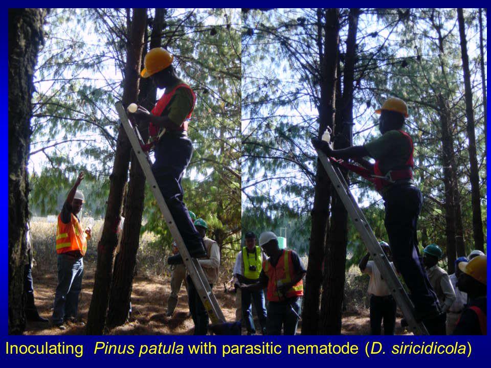 Inoculating Pinus patula with parasitic nematode (D. siricidicola)