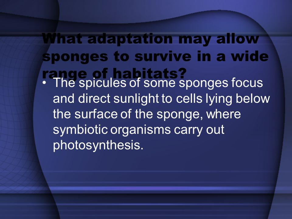 What adaptation may allow sponges to survive in a wide range of habitats? The spicules of some sponges focus and direct sunlight to cells lying below
