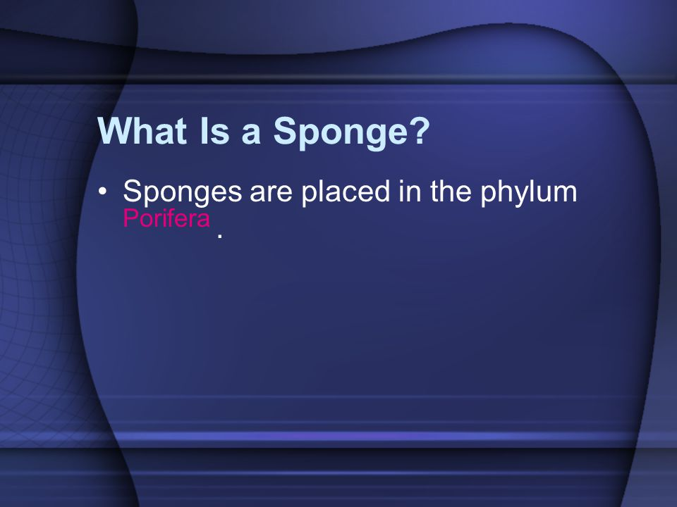 What Is a Sponge? Sponges are placed in the phylum Porifera.