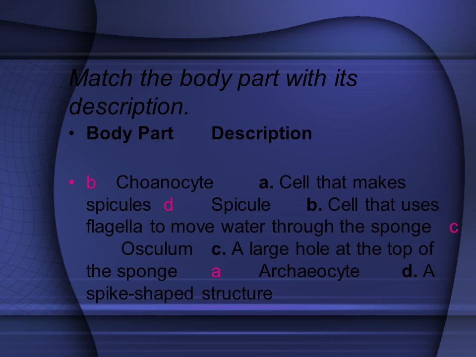 Match the body part with its description. Body Part Description b Choanocyte a. Cell that makes spicules d Spicule b. Cell that uses flagella to move