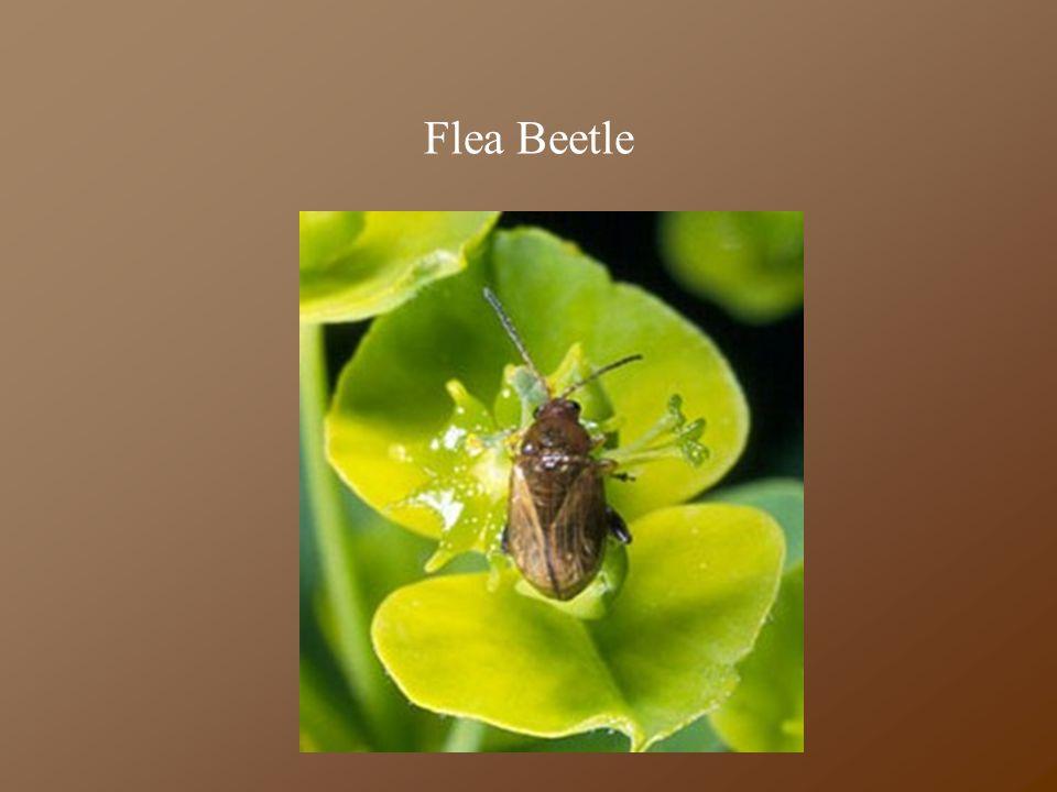 Flea Beetle