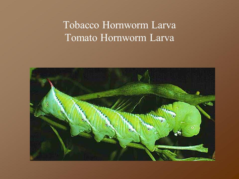 Tobacco Hornworm Larva Tomato Hornworm Larva