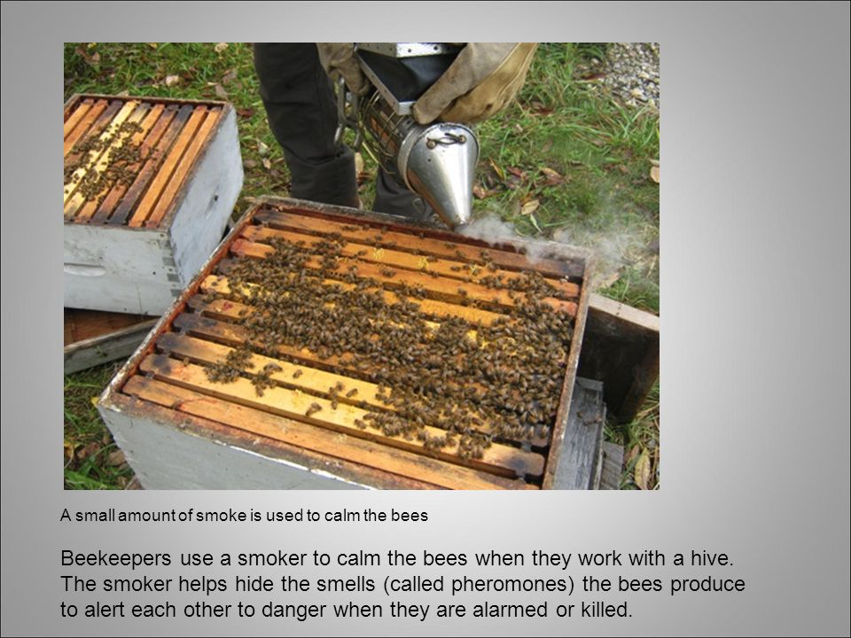 A small amount of smoke is used to calm the bees Beekeepers use a smoker to calm the bees when they work with a hive.