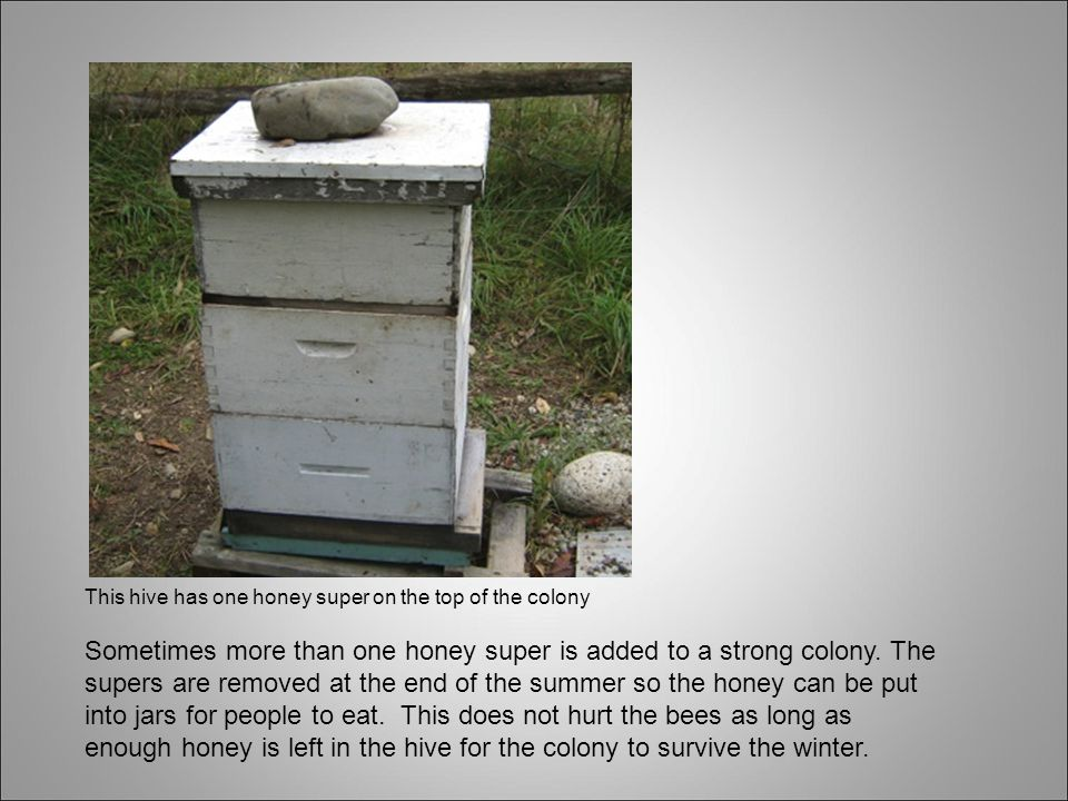This hive has one honey super on the top of the colony Sometimes more than one honey super is added to a strong colony.