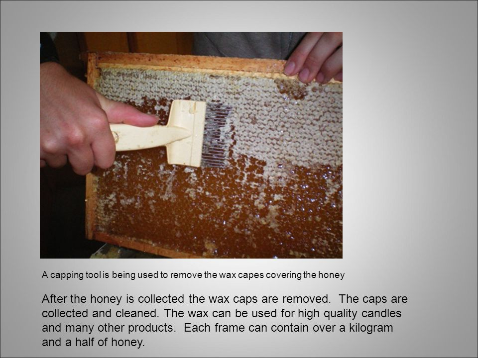 A capping tool is being used to remove the wax capes covering the honey After the honey is collected the wax caps are removed.