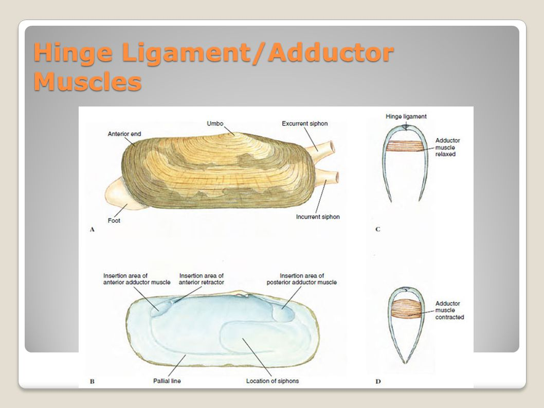 Hinge Ligament/Adductor Muscles