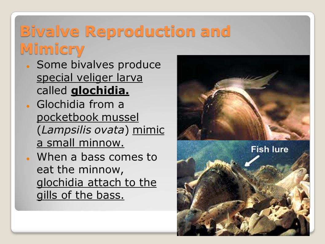 Bivalve Reproduction and Mimicry Some bivalves produce special veliger larva called glochidia. Glochidia from a pocketbook mussel (Lampsilis ovata) mi