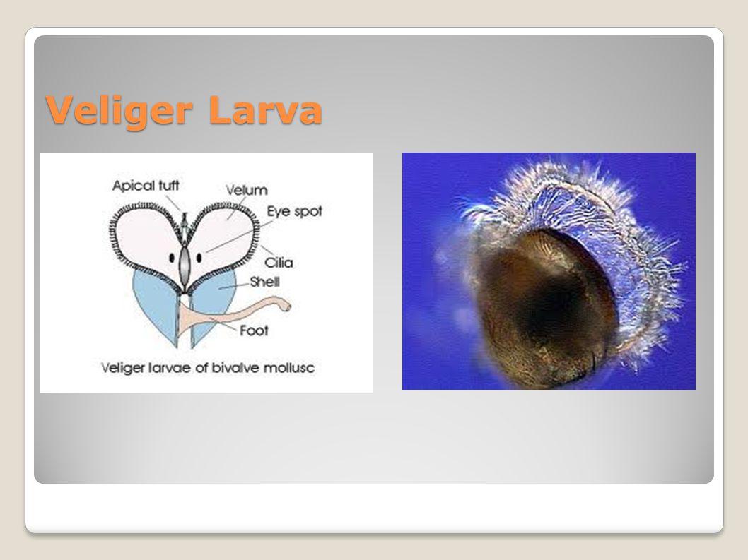 Veliger Larva