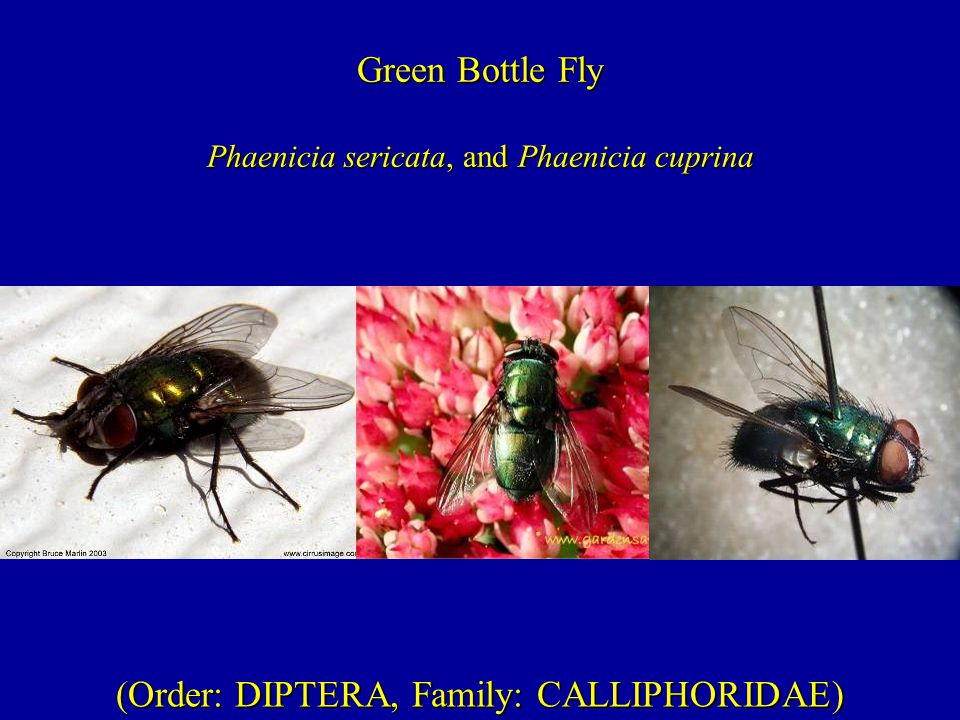 (Order: DIPTERA, Family: CALLIPHORIDAE) Green Bottle Fly Phaenicia sericata, and Phaenicia cuprina