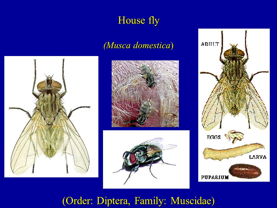(Order: Diptera, Family: Muscidae) House fly (Musca domestica)