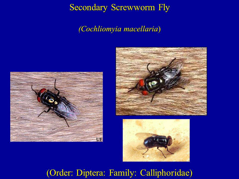 (Order: Diptera: Family: Calliphoridae) Secondary Screwworm Fly (Cochliomyia macellaria)