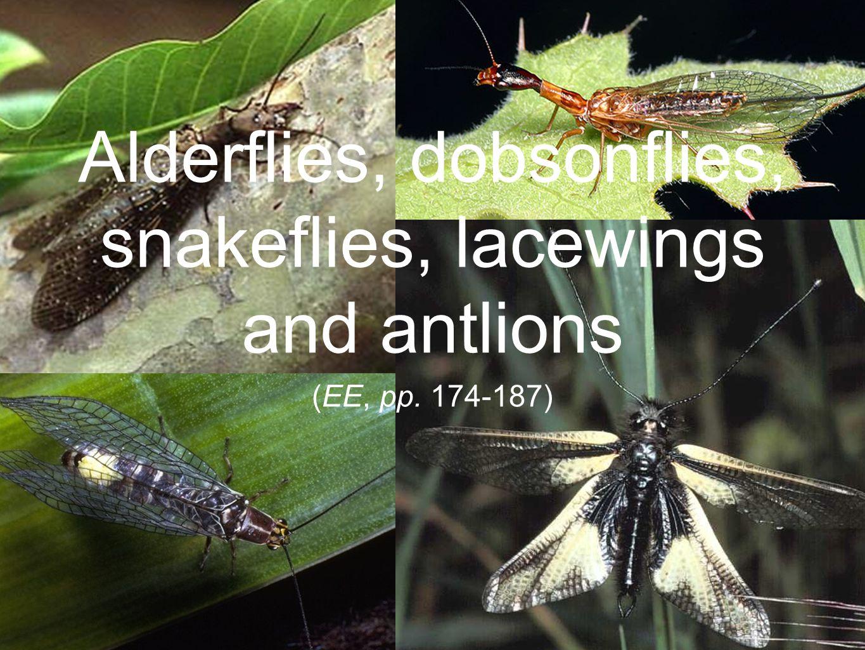 (EE, pp. 174-187) Alderflies, dobsonflies, snakeflies, lacewings and antlions