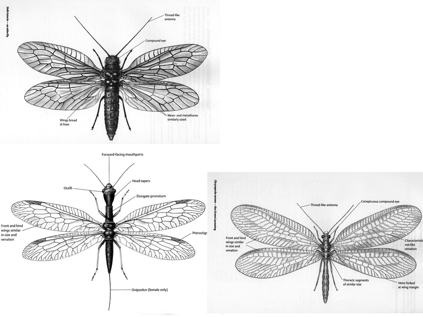 Megaloptera Common name: Alderflies and dobsonflies (300 known world species (0.03%)) Derivation: Gk.